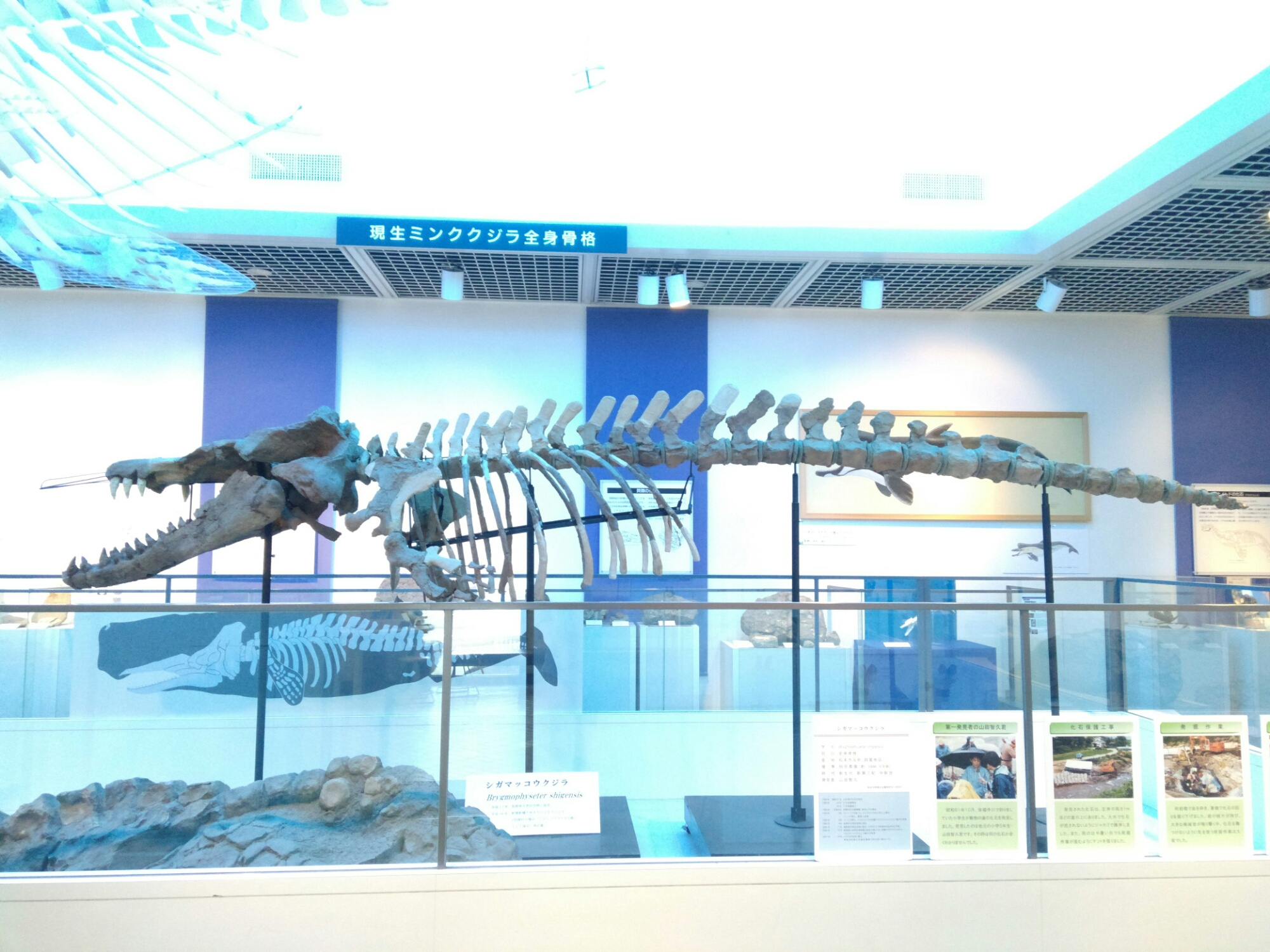 クジラ シガ マッコウ